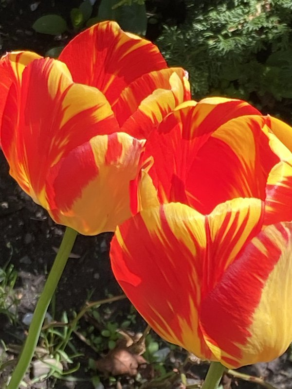 Two red and yellow tulips thumbnail