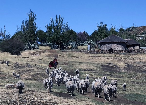 Sheep herder in Lesotho thumbnail