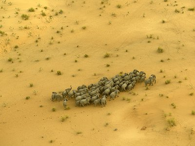 Imperiled survivors: A herd migrates across Chad, once home to tens of thousands of elephants. After a surge in poaching, only about 1,000 remain.