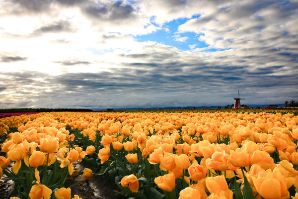 Yellow Tulips thumbnail