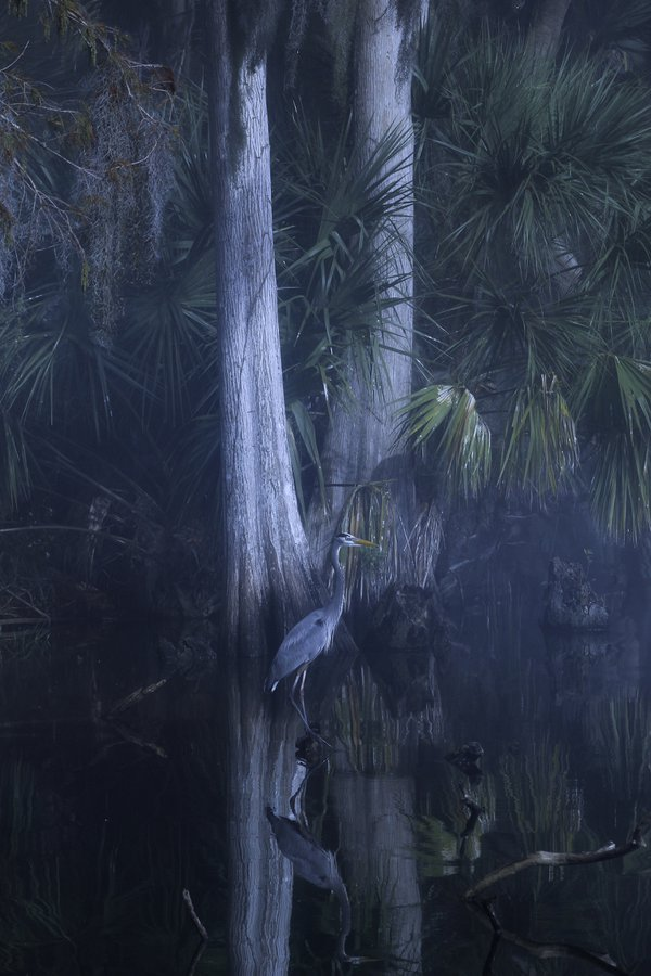 Great Blue Heron Misty Morning thumbnail