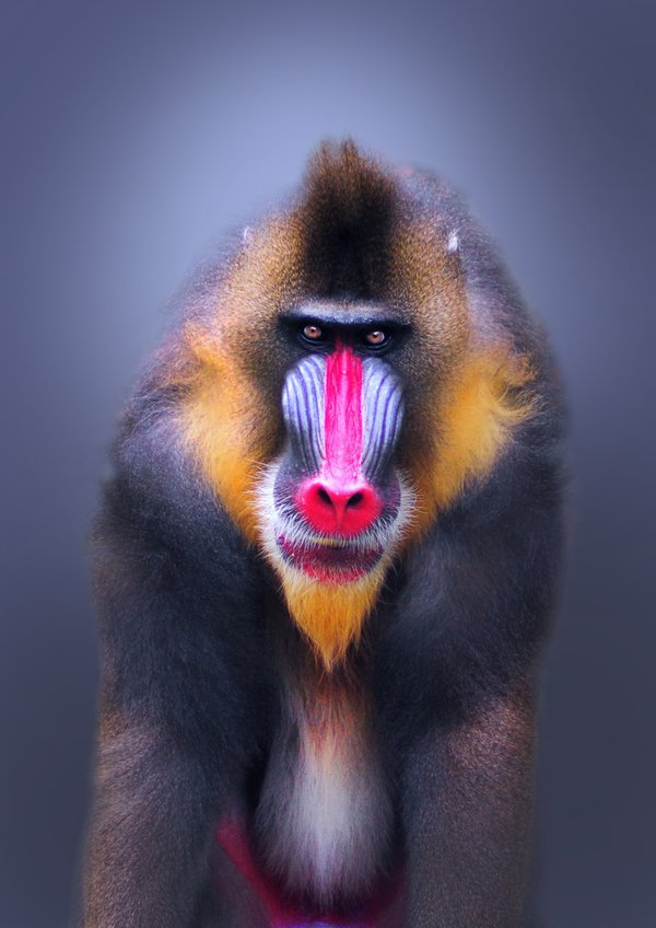 Portrait of a dominant male Mandrill. Mandrills have the most colorful face of the primate world. They also have very prominent canine teeth and a menacing gaze. Male mandrills are the heaviest monkey thumbnail