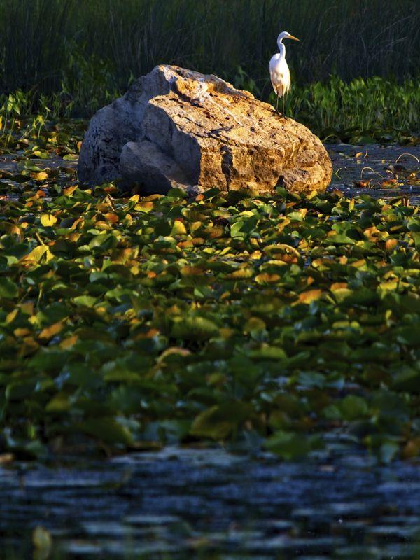 Snowy Egret Waiting thumbnail