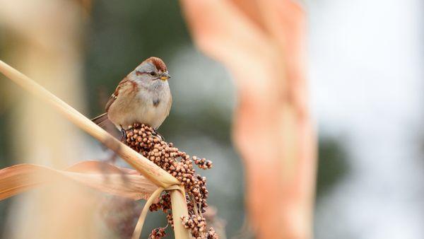 American Tree Sparrow on a sorghum stalk thumbnail