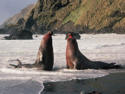 """""""HEY! DID YOU KNOW THAT MACQUARIE ISLAND IS HOME TO SOME OF THE WORLD'S OLDEST ROCKS?"""" """"I DID NOT! WHY ARE WE YELLING?"""" """"I DON'T KNOW, WE'RE SEALS"""""""