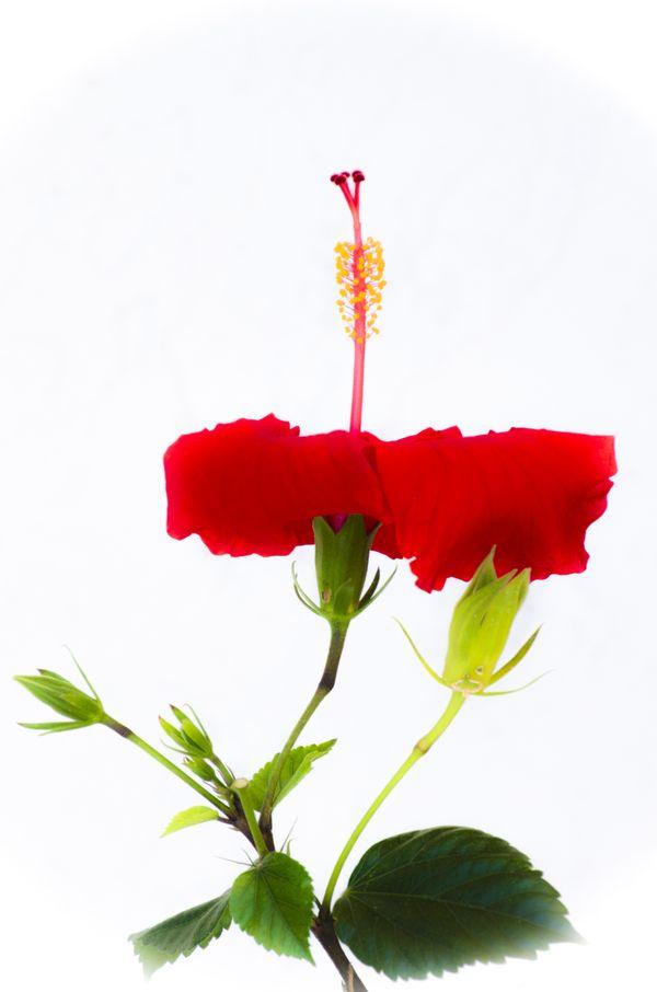 Hibiscus flower thumbnail