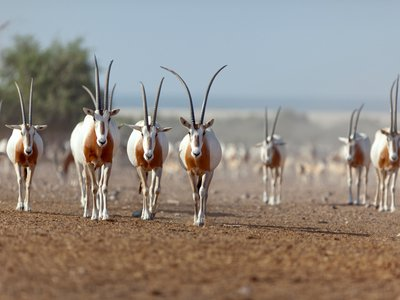 Scimitar-horned oryx can go for ten months without drinking water.