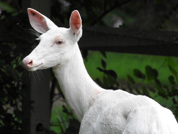 Albino deer in the front yard thumbnail