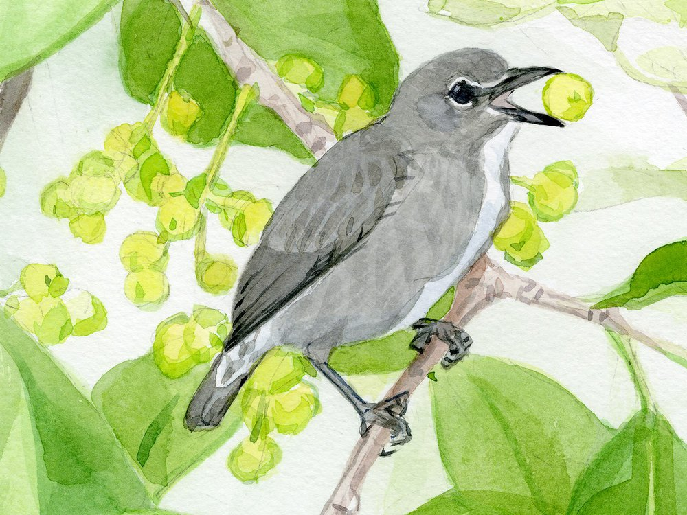 The spectacled flowerpecker has been spotted eating mistletoe, a parasitic plant that grows high in Borneo's forest canopy. The distinctive white markings around the eyes earned these birds their common name. (John Anderton)