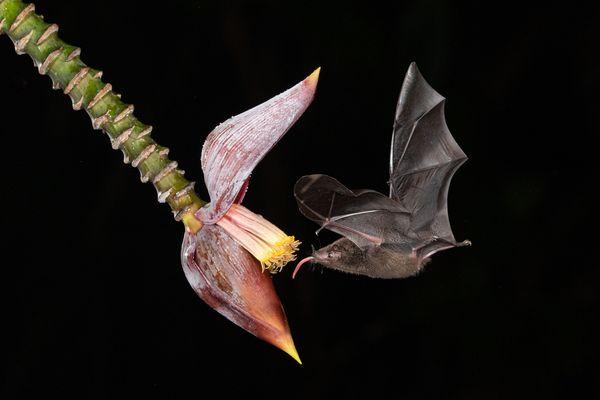 Jamaican Fruit Bat thumbnail