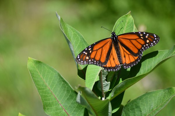 Monarch Butterfly; Beaver Island, Mich.  thumbnail