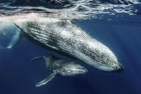 Humpback Whales thumbnail