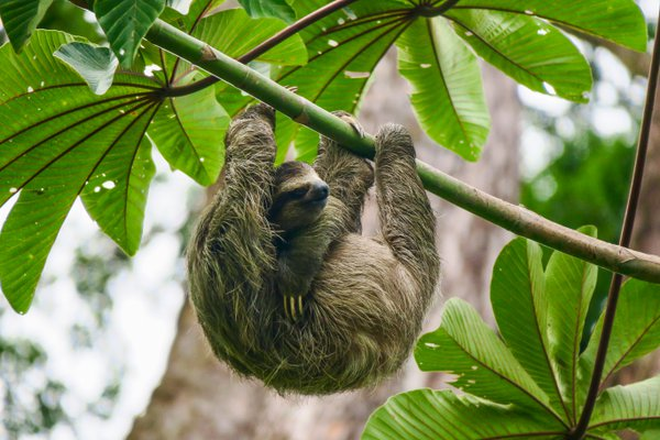 Sloth hanging from a tree in Panama thumbnail