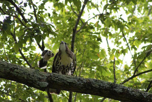 Blue Jay sneak attack hawk thumbnail