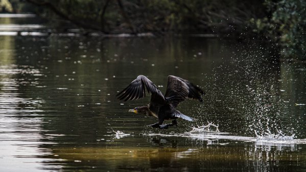 Cormorant taking off on a Danube Delta canal thumbnail