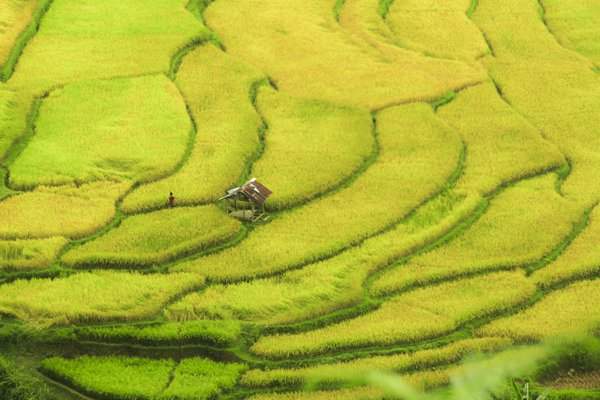 Nature Blanket, the rice field at Solok, Indonesia thumbnail