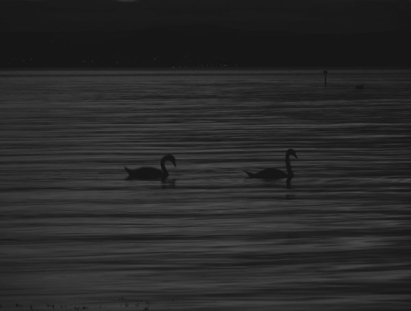 Swans on a late at dusk thumbnail