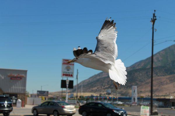 Seagull landing thumbnail