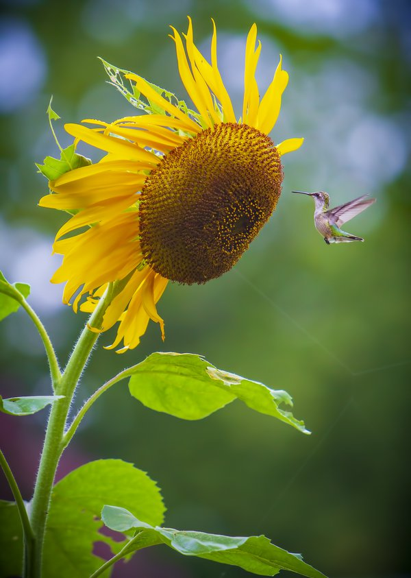 I was chasing a few butterflies around with my camera and this scene unfolded in front of me. I've taken a few shots of hummingbirds but the juxtaposition of the tiny hummingbird and giant sunflower made this special.