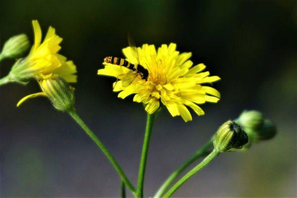 Wasp on Hawksbeard flower. thumbnail