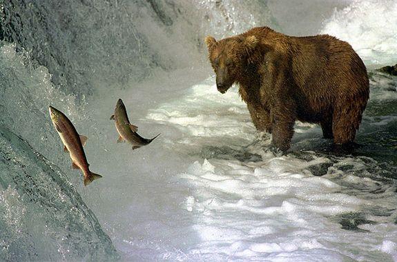 A brown bear fishing salmon in Brooks River, Katmai National Park, Alaska