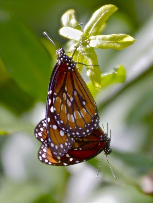 Two Butterflies Mating thumbnail
