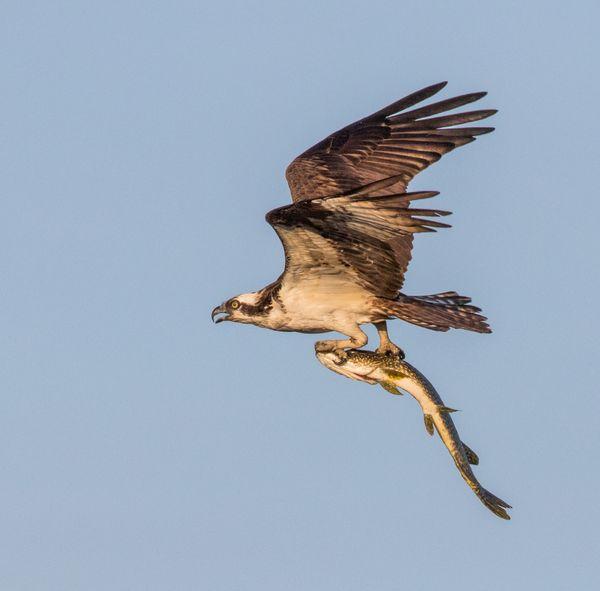 Osprey and Fish thumbnail