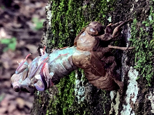 A cicada emerging from its old underground life as it begins its new above ground life. thumbnail
