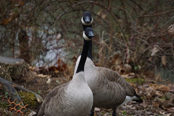 Geese protect their nest. thumbnail