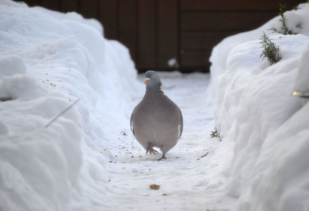 snowy pigeon