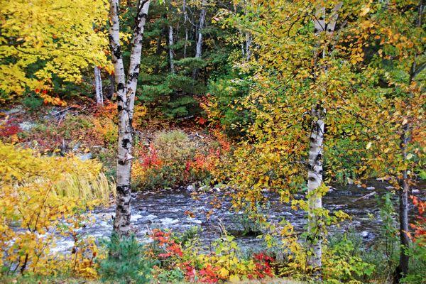 Autumn Birch Trees thumbnail