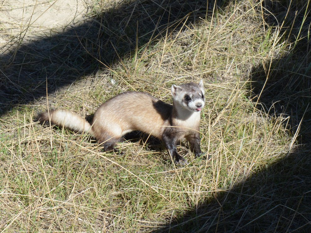 A black-footed ferret kit with its tongue sticking out sits on hay in an enclosure