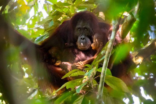 Orangutan Twins thumbnail