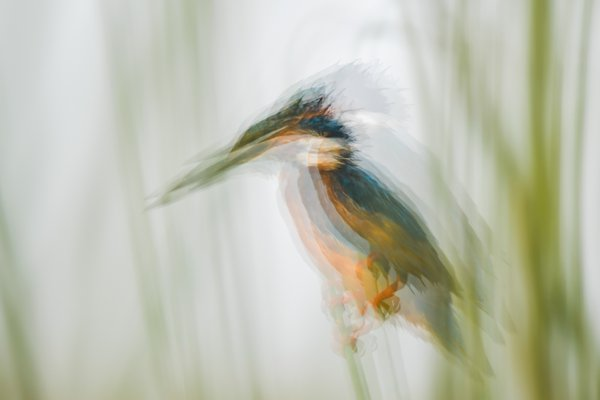 The Stable kingfisher thumbnail