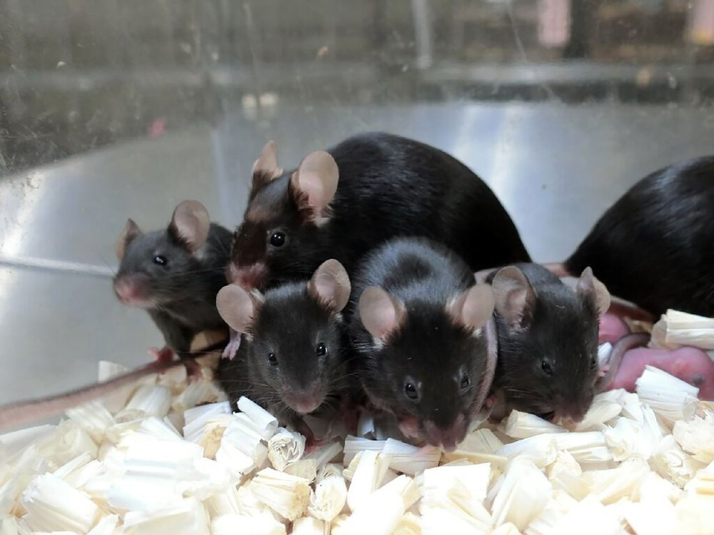 Mice in captivity