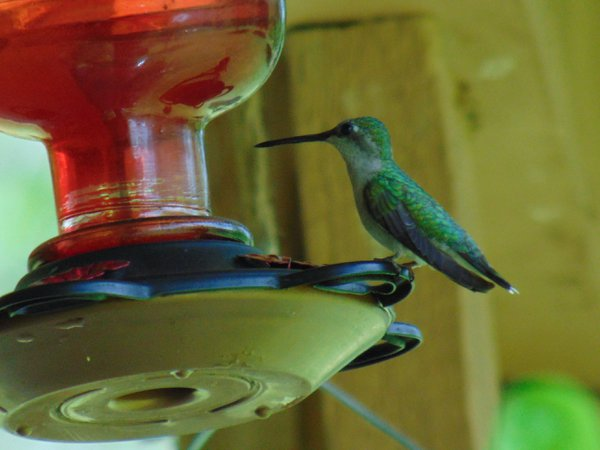 Female hummingbird resting at feeder thumbnail
