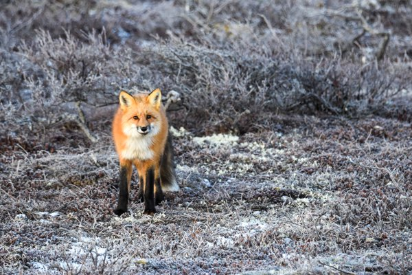 Curious red fox in Churchill thumbnail