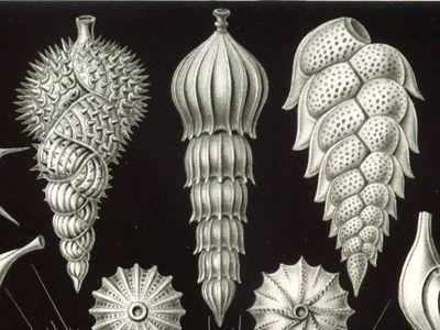 Foraminifera from Ernst Haeckel's Kunstformen der Natur. (Ernst Haeckel)