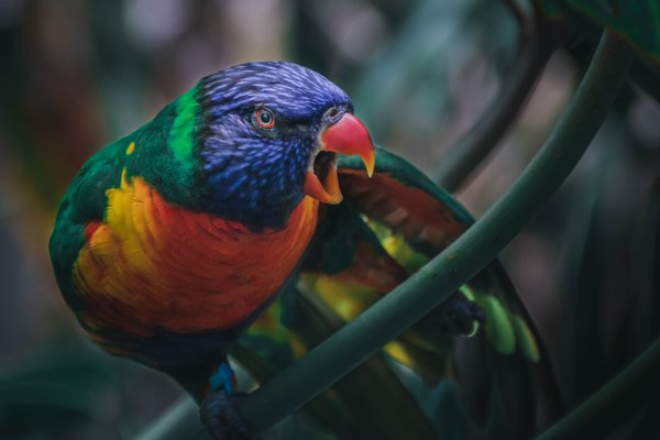 Lorikeet Dominance thumbnail