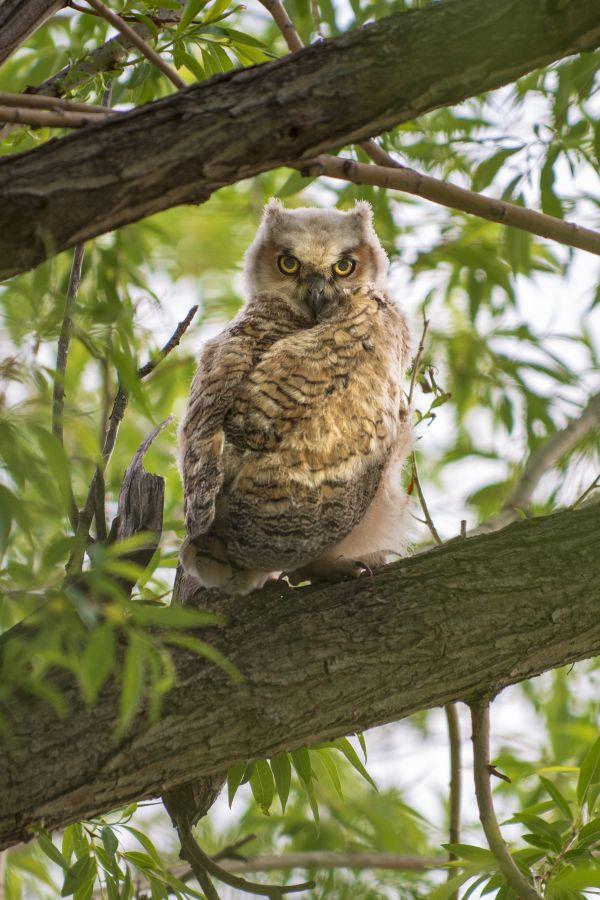 Great Horned Owl Contemplating Flight thumbnail