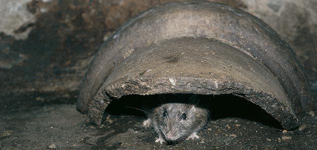 Baltimore street rats