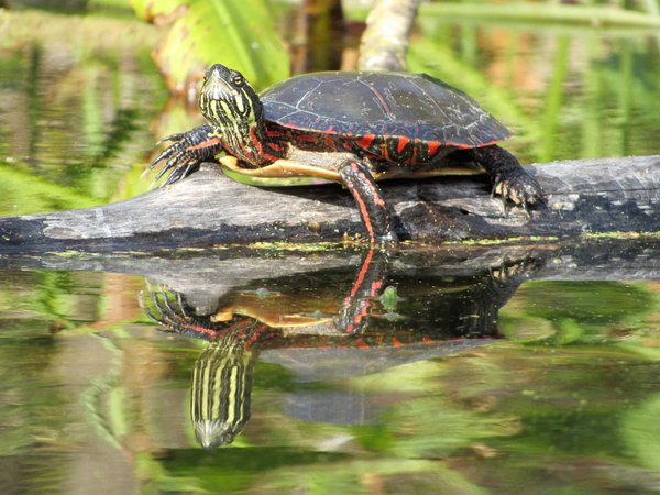 A painted turtle basking in the sun at Chain O' Lakes State Park in Albion, Indiana. thumbnail