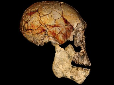 The 1972 Homo rudolfensis skull is combined in this composite image with one of the lower jaws found at Koobi Fora, Kenya.