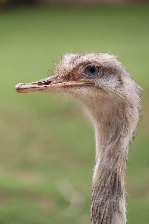 Blue-eyed Emu thumbnail