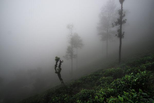 Tea Plantation at Dawn thumbnail
