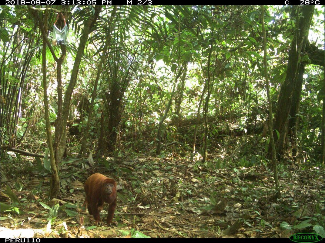 Howler monkey walking on the ground
