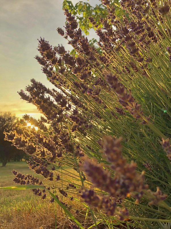 Lavender sunset thumbnail