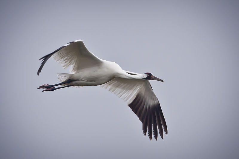 An endangered whooping crane