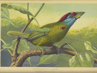 The blue-throated barbet, illustrated here in 1871, is native to southern Asia.