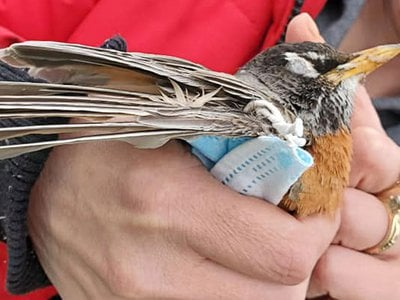 Twenty-eight incidents where wildlife was harmed by PPE were recorded and the first documented case included an American Robin found wrapped up in a mask in Canada, in April 2020.